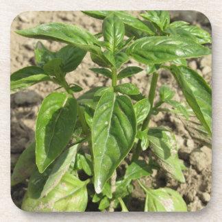 Porta-copo Única planta fresca da manjericão que cresce no