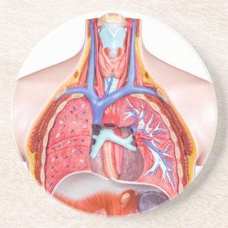 Porta-copos De Arenito Corpo humano interno modelo no fundo branco