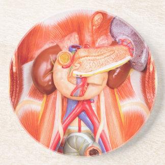 Porta-copos De Arenito Modelo humano do torso com órgãos