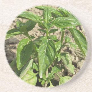 Porta-copos Única planta fresca da manjericão que cresce no