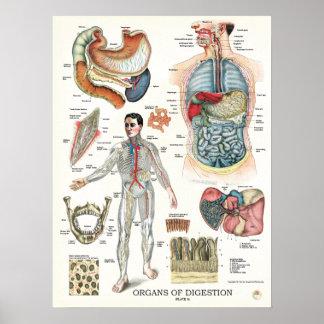 Poster 18 x 24 da anatomia do sistema digestivo