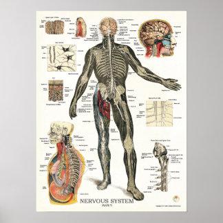 Poster 18 x 24 da anatomia do sistema nervoso