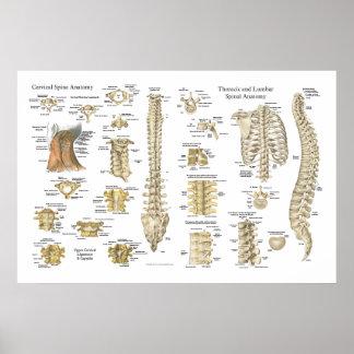 """Poster 24"""" espinal e das vértebras da anatomia X"""