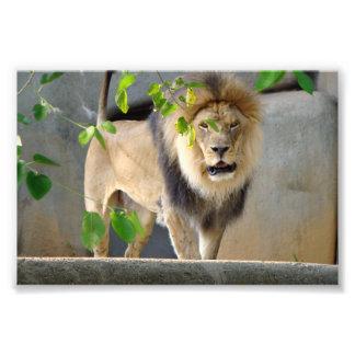 Poster 6x4 dos animais selvagens do leão impressão de foto