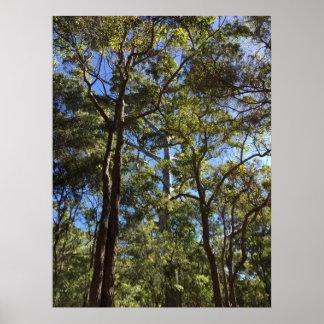 Poster A Austrália Ocidental da árvore