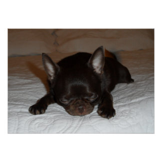 Poster afixar foto chihuahua cachorro castanho adormecido