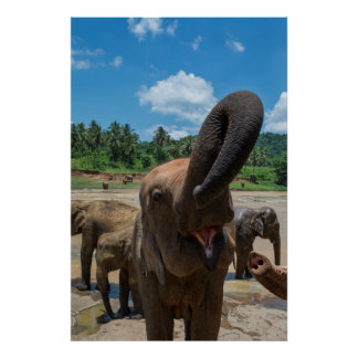 Pôster Água potável do elefante, Sri Lanka