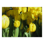 Poster amarelo das tulipas