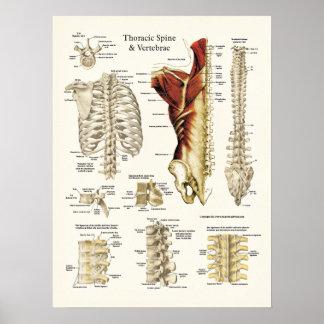Poster Anatomia da espinha e das vértebras torácicas