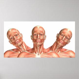Poster Anatomia dos músculos principais masculinos em