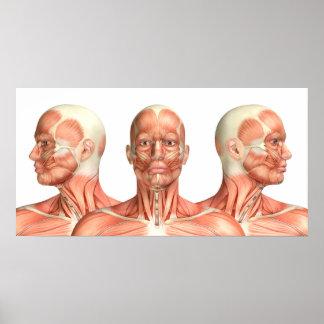 Pôster Anatomia dos músculos principais masculinos em