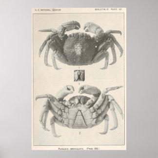 Pôster Anatomia Fotografia do caranguejo do vintage