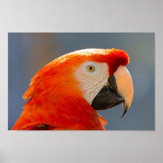 Poster Animais selvagens vermelhos do pássaro do papagaio