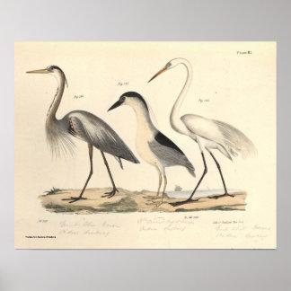Pôster Aves aquáticas
