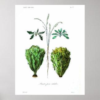Poster botânico do vintage - alface
