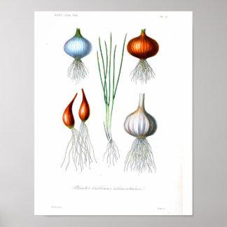 Poster botânico do vintage - cebola e alho