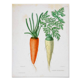 Poster botânico do vintage - cenoura pôster