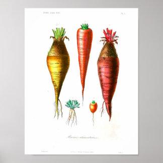 Poster botânico do vintage - cenouras