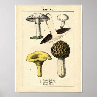 Poster botânico do vintage - cogumelo britânico pôster