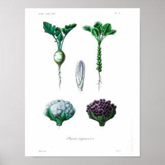 Poster botânico do vintage - couve-flor