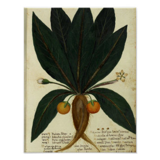 Poster botânico do vintage - laranja doce pôster