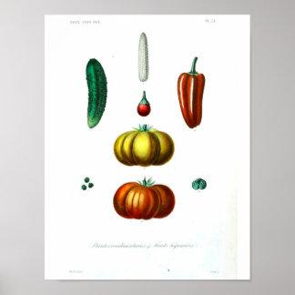 Poster botânico do vintage - polpa
