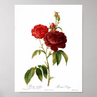 Poster botânico do vintage - rosa vermelha