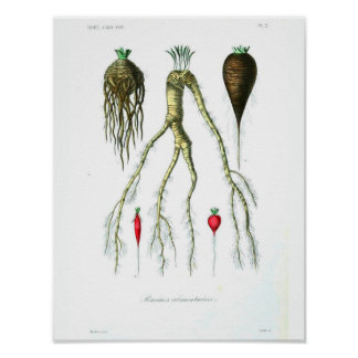 Poster botânico do vintage - vegetais de raiz