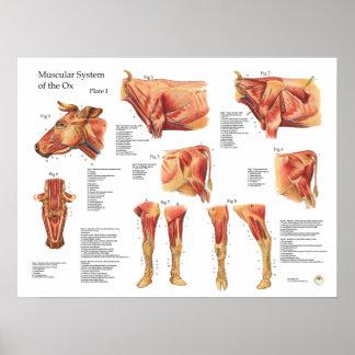 Poster bovino da anatomia do músculo da vaca