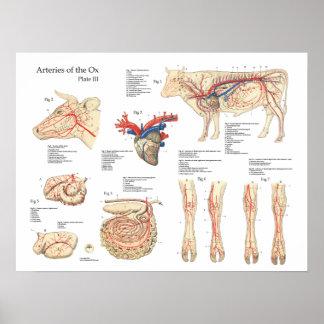 Poster bovino da anatomia dos vasos sanguíneos da