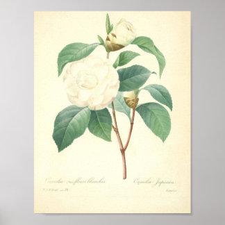 Poster Camélia bonito por Redoute