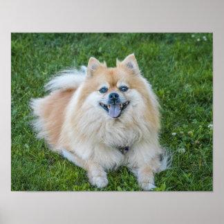 Poster Cão de creme de Pomeranian do Sable na grama