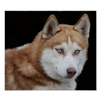 Pôster Cão ronco do Alasca