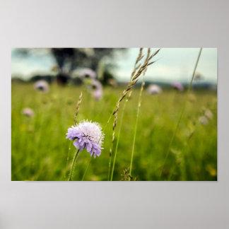 Pôster Cardo & grama, wildflowers em campos poloneses
