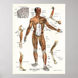 Pôster Carta anatômica da anatomia dos músculos