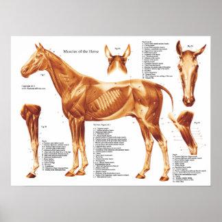 Pôster Carta da anatomia do músculo do cavalo
