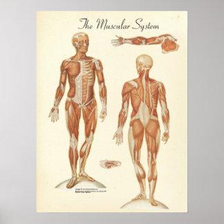 Pôster Carta humana da anatomia do músculo