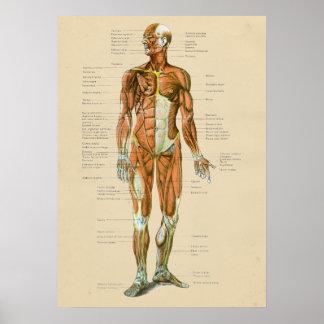 Pôster Carta humana da anatomia do músculo do vintage
