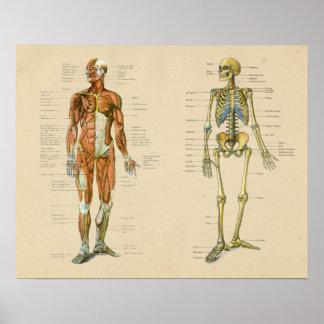 Pôster Carta humana do vintage da anatomia de Skelton do