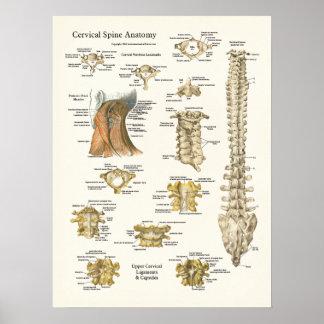 Poster cervical da anatomia da espinha e das