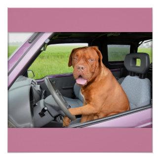 Pôster Condução de Dogue de Bordéus