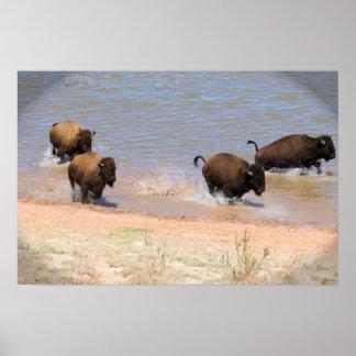 Poster Corredor do bisonte