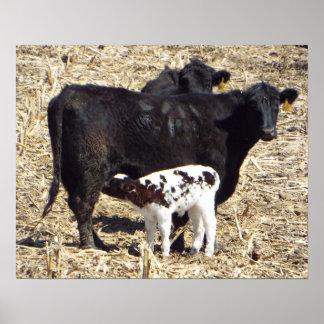 Pôster Cuidados bonitos da vitela do bebê no Mama Vaca