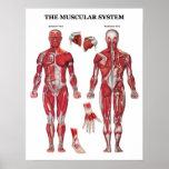 Poster da anatomia