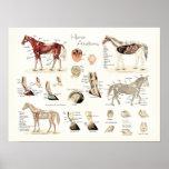 Poster da anatomia do cavalo