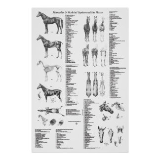 Poster da anatomia do cavalo esqueletal e muscular