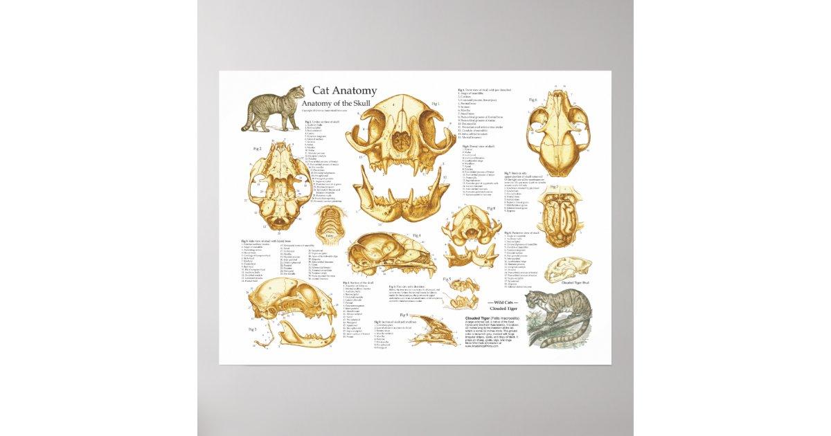 Poster da anatomia do crânio do gato doméstico | Zazzle.com.br
