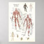 Poster da anatomia do músculo - anterior e Posteri