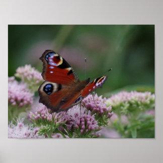 Poster da borboleta de pavão