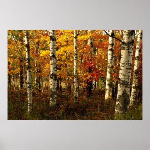 Poster da floresta do vidoeiro pôster